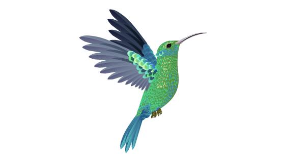漂亮的蜂鸟矢量素材(EPS/PNG)